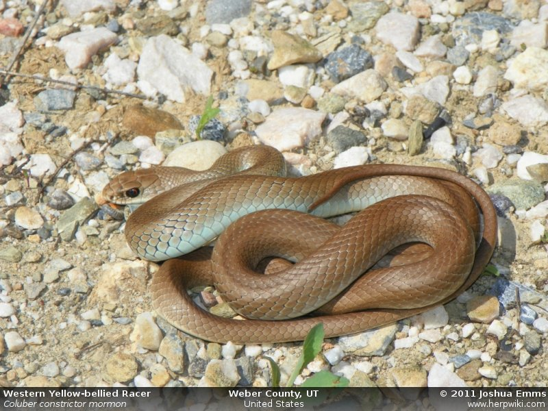 Coluber Constrictor Mormon Western Yellow Bellied Racer
